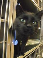 """Adult Male Cat - Domestic Short Hair: """"Dr. Claw"""""""
