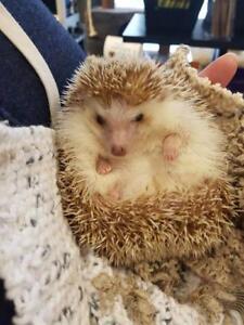 "Adult Female Small & Furry - Hedgehog: ""Luna"""