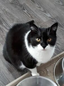 "Senior Male Cat - Domestic Medium Hair: ""Zorro"""