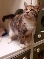 """Young Female Cat - Domestic Medium Hair: """"Patches - On Trial"""""""