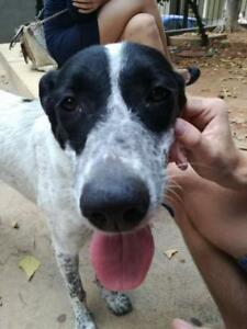 "Young Female Dog - Pointer: ""Daya"""