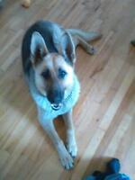 "Young Female Dog - German Shepherd Dog: ""URGENT BEAUTIFUL  ZYRA"""