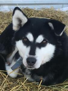 "Adult Male Dog - Husky-Alaskan Malamute: ""Rudolph"""