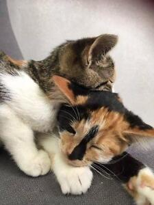 "Baby Female Cat - Calico: ""ROUGE AND ROSE"""