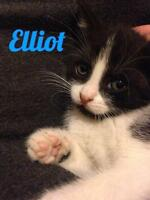 """Young Male Cat - Domestic Short Hair-black and white: """"Elliot"""""""