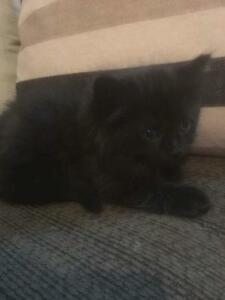 "Baby Male Cat - Domestic Medium Hair-black: ""Abner"""