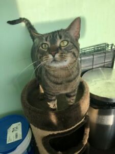 "Adult Male Cat - Domestic Short Hair-Tabby: ""Nyx"""