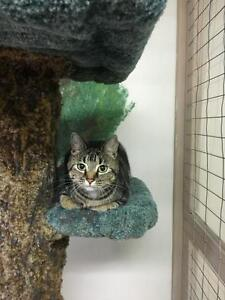 "Adult Female Cat - Domestic Short Hair-Tabby: ""Sweet Marie"""
