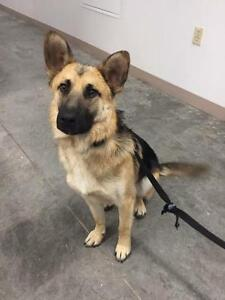 """Young Male Dog - Shepherd: """"S.Thomas (in foster care)"""" Yellowknife Northwest Territories image 2"""