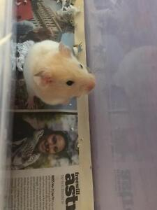 "Young Male Small & Furry - Hamster: ""Todd"""