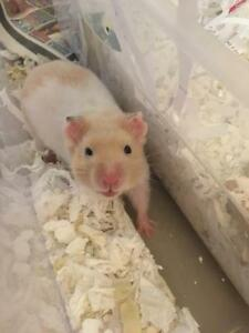 "Young Male Small & Furry - Hamster: ""Scott"""
