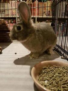 "Young Female Rabbit - Dwarf-New Zealand: ""Delilah"""