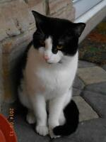 "Young Male Cat - Domestic Short Hair-black and white: ""Mr Sulu"""