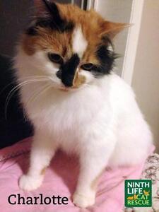 "Adult Female Cat - Domestic Medium Hair: ""Charlotte"""