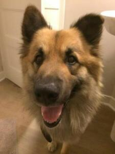 "Adult Male Dog - Shepherd: ""CHESTER"""