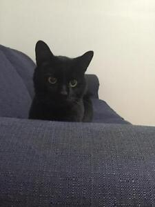 "Adult Male Cat - Domestic Short Hair-black: ""Christmas"""
