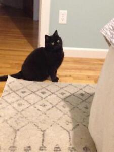 "Adult Female Cat - Domestic Short Hair: ""Ash and Coal"""