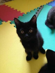 "Young Female Cat - Domestic Short Hair-black: ""Ember"""