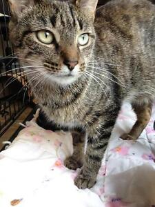 """Adult Female Cat - Domestic Short Hair - brown: """"Chickpea"""""""