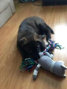 "Baby Male Dog - German Shepherd Dog: ""NILE"""