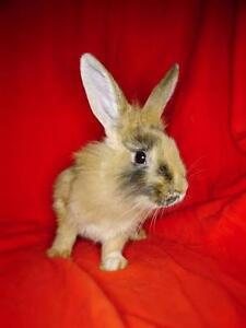 "Baby Male Rabbit - Harlequin: ""Delph"""