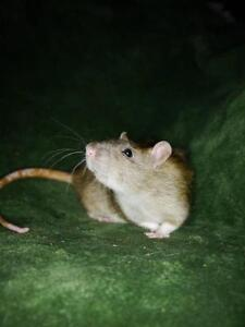 "Young Female Small & Furry - Rat: ""Chyanne"""