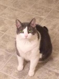 "Adult Male Cat - Domestic Short Hair - gray and white: ""Zion"""