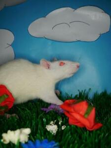 """Young Female Small & Furry - Rat: """"Peony"""""""