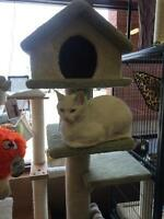 """Young Female Cat - Domestic Short Hair: """"Katy"""""""