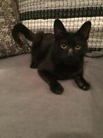 """Young Male Cat - Domestic Short Hair-black: """"Scabbers"""""""