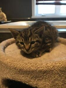"Baby Male Cat - Tabby: ""Chip"""