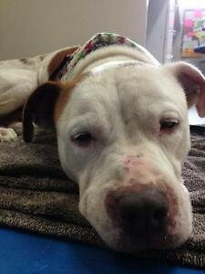 """Adult Female Dog - Pit Bull Terrier: """"Pita"""" West Island Greater Montréal image 1"""