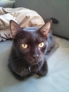"Adult Female Cat - Domestic Short Hair-black: ""Huguette"""