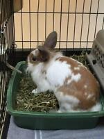 "Adult Female Rabbit - Lionhead: ""Mrs Apple Spice"""