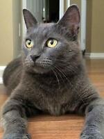 "Young Female Cat - Domestic Short Hair-gray: ""Violet"""