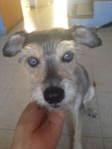 "Young Male Dog - Schnauzer: ""Blue"""
