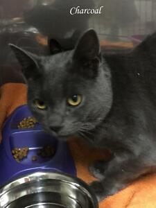 """Young Male Cat - Russian Blue-Domestic Short Hair: """"Charcoal"""""""