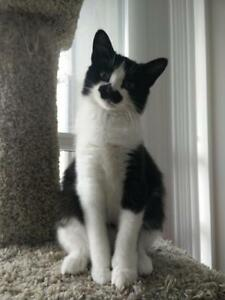 "Young Female Cat - Domestic Medium Hair: ""Chaplin (Sophie)"""