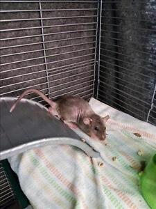 """Baby Male Small & Furry - Rat: """"Smalls"""""""