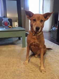 "Adult Male Dog - Labrador Retriever-German Shepherd Dog: ""Lance"""