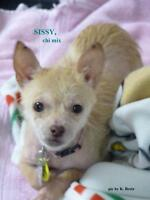 "Young Female Dog - Chihuahua: ""SISSY"""