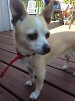 "Senior Female Dog - Chihuahua: ""Ginger"""