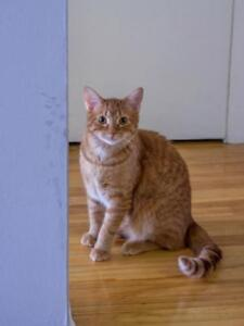 """Young Male Cat - Domestic Short Hair: """"Alban"""""""