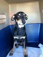 "Young Male Dog - German Pinscher: ""Bodhi"""