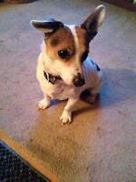 "Adult Male Dog - Jack Russell Terrier: ""Riley"""