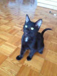 "Young Female Cat - Domestic Short Hair: ""Marcelle"""