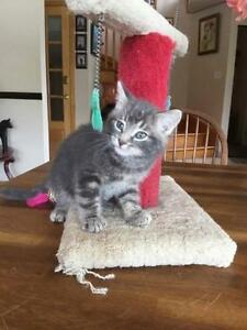 "Baby Male Cat - Domestic Short Hair-gray: ""Tommy"""