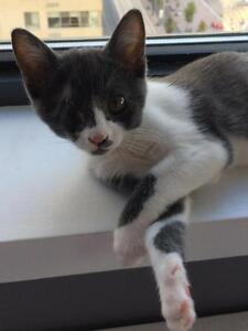 """Baby Female Cat - Domestic Short Hair - gray and white: """"Penny"""""""