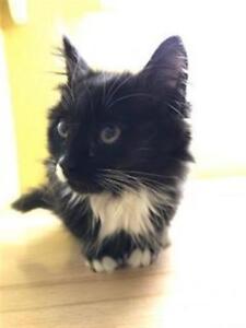 "Baby Female Cat - Domestic Medium Hair: ""Loni"""