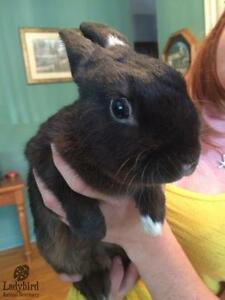 "Adult Male Rabbit - Dwarf: ""Archie"""